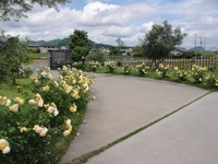 Time to See the Roses at Osato Laboratory Garden