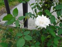Flowers of apple trees in full blossom