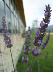 Lavenders are almost in full bloom.
