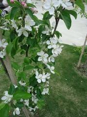 An apple tree let full bloom tear the flower