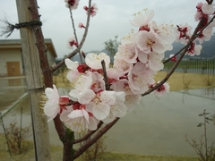 The flowers of the apricot are in full bloom