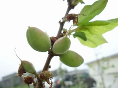 Baby of the apricot