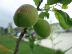 Apricots begin to change color
