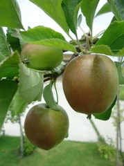 Apple trees started to bear fruits.
