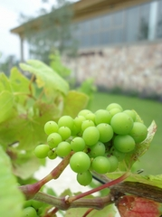 Grapes are growing really well.