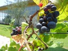 Grapes in the Osato Laboratory garden