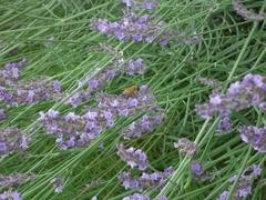 Lavenders are in full bloom.