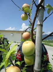 Apples in Osato Laboratory garden