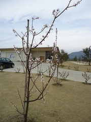 Apricot flowers are in bloom again this year!