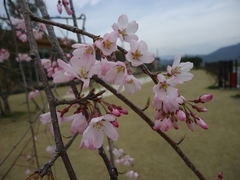 Declaration of opening of cherry blossoms in Osato Laboratory Garden!!!