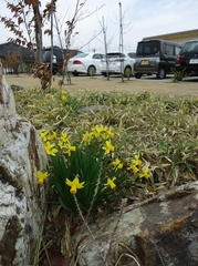The best time to view narcissus