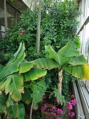 Bougainvilleas in bloom.