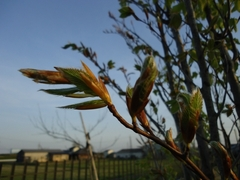 Shooting leave buds of beech trees