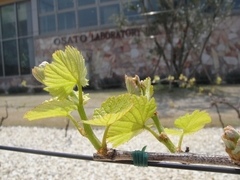 New leaves of Grapes