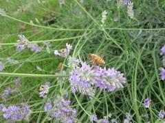 Blooming Lavenders!