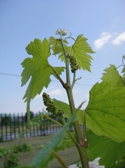 Little Flower Buds of Grapes