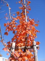 Beautiful Maple Leaves Turning Red
