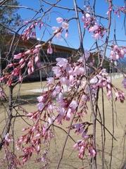 Season of Cherry Blossom Viewing
