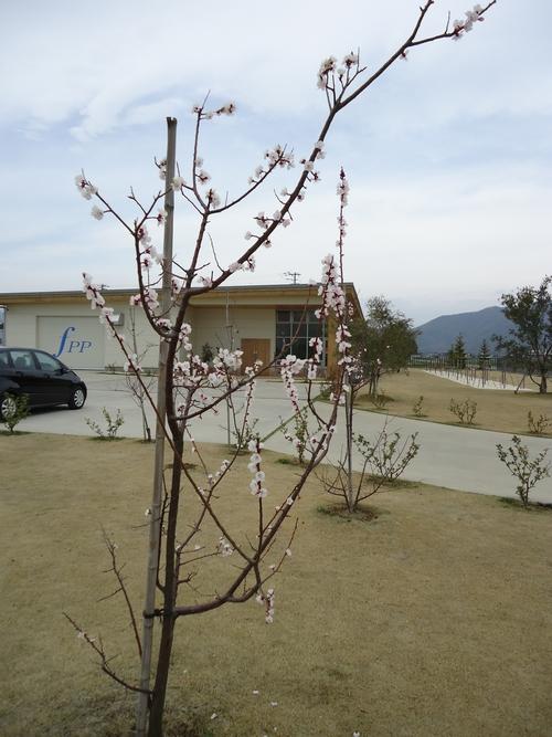 apricot-012.JPG
