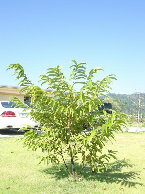 chestnut-008.JPG