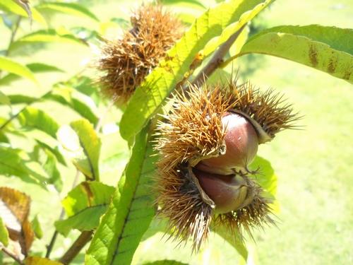 chestnut-009.JPG