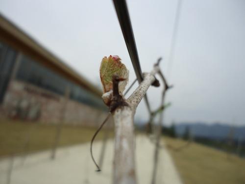 grape-003.JPG