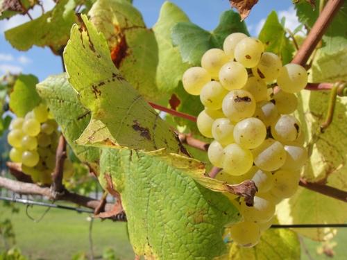 grape-021.JPG