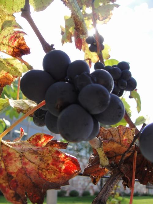 grape-023.JPG