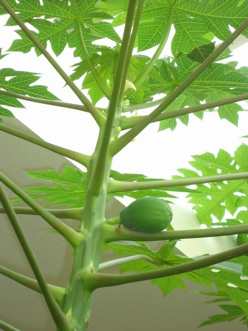 papaya-004.JPG