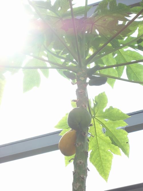 papaya-005.JPG