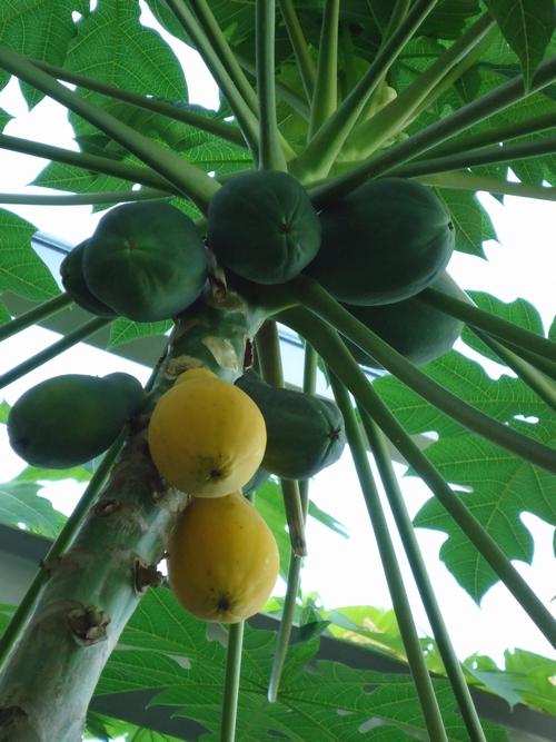 papaya-011.JPG
