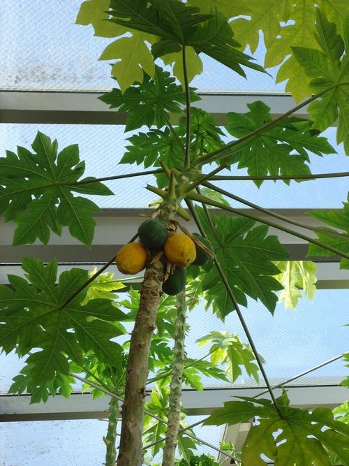 papaya-015.JPG