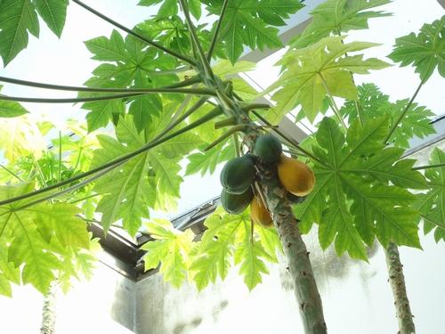 papaya-016.JPG