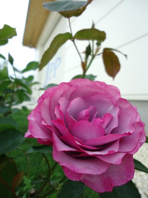 rose-016.JPG