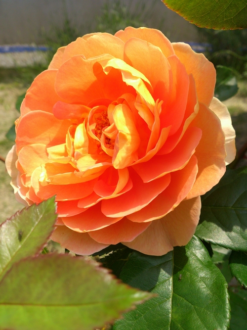 rose-017.jpg