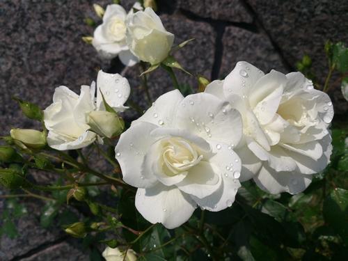 rose-019.jpg