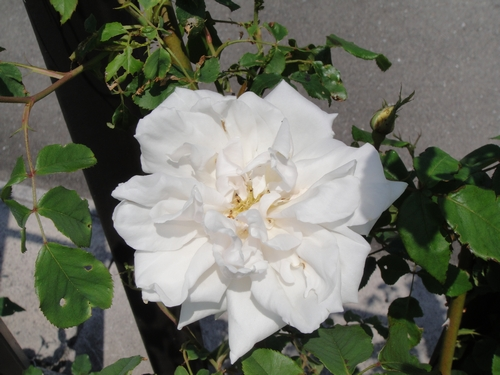 rose-043.JPG