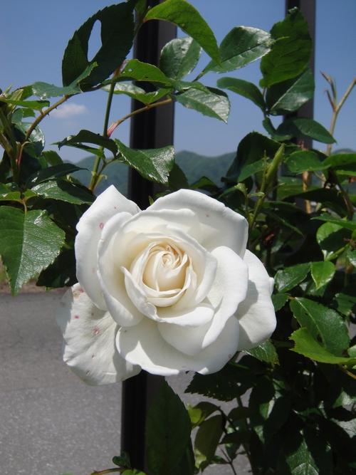 rose-044.JPG
