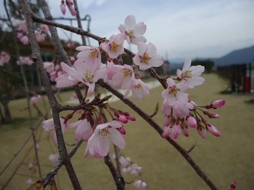 sakura-002.JPG