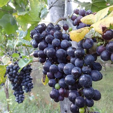 Pinot Noir Harvest Festival